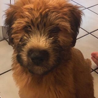 We welcome COSMO to our family! #puppylove #softcoatedwheatenterrier